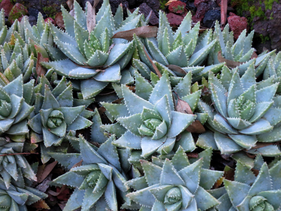 aloe carpet